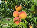 PF-24C Flamin' Fury Peach - 5-6' bareroot, coldhardy variety that survives when others succumb to frost and cold temperatures. Ripens 24 days after Redhaven, bears large, sweet fruit. Requires cross pollination, freestone.