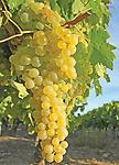 Himrod Grape (seedless) - Bareroot, white, medium-sized fruit with sweet flavor. Very productive, large clusters turn golden-yellow when fully ripe. Developed in New York for winter hardiness, ripens in late August.