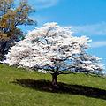 "White Flowering Dogwood - 18-24"" 2-0 bareroot, excellent landscaping choice for all seasons, white flowers bloom in May, vibrant red-purple foliage in the fall, and red fruits for wildlife in the winter. Mature height; 15-25'"