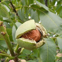 """Carpathian Walnut 18-24"""" 1-0 bareroot, when it comes to walnut flavor , the Carpathian is king. An English-type walnut with full flavor and a hit of butterscotch, it also shows gorgeous autumn yellow leaves in the fall"""