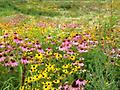 Custom Seed Orders - We offer custom seed orders for wildflowers (4-species and 13-species varieties), Switchgrass, Native Grass w/ Wildflowers, Pollinator Mixture, and 4-way Mix. Please call us for more details.