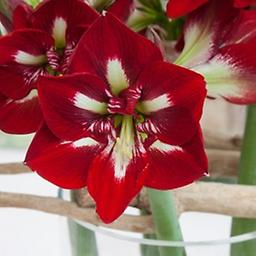 AMARYLLIS Barbados SHIPPING SPRING 2019 Large Flowered Single