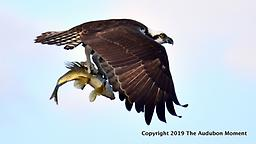 Death Grip - 20X24 Image on 1/2 inch foam core The power of an Osprey is displayed in this stunning image