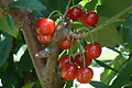 Sweet Gabriel Cherry - 4-6' Bareroot, a new sweet cherry variety exclusively from VanWell Nursery, early blush blonde cherry ripening 7-10 days before Rainer. Requires cross pollination.