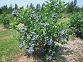 "Bluecrop Blueberry - Bluecrop Blueberry 12-18"" tall Sold in Bundles of 5 or 10, Large, firm berry with a great flavor. Early to mid season. Best all around variety, great for U-Pick."