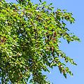 """Red Mulberry - 18-24"""" 2-0 bareroot, a native deciduous known for its dark purple berries that ripen in late spring utilized for cooking/canning and food for wildlife, can reach heights of 70 ft. if left unpruned."""