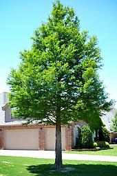 """Bald Cypress Transplant 18-24"""" 1-0 bareroot, native to southern swamps but still grows well in northern states, a deciduous conifer that loses its needles in the fall, grows in a variety of soils, especially poorly-drained."""