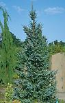 """Serbian Spruce Husky - 22-26"""" Plugs, this new variety of evergreen is being utilized as a replacement for Colorado Blues that are suffering from needle cast, very similar to the CO Blue and grows to 50-60'."""
