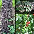 """Black Cherry Tree - 18-24"""" 1-0 bare root transplant. Native to the Midwest, display showy white flowers in the spring, followed by dark pea-sized fruits. Susceptible to ice damage, known for its excellent timber value."""