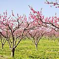 Belle of Georgia - 4-6' Bareroot Peach Tree, old-fashioned/classic peach, vibrant red skin with sweet yellow/white flesh, winter hardy & freestone