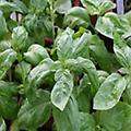 Basil - Ocimum basilicum annual 14-36 inches. Please see complete description for variety specifics and use the drop down box to select the variety.