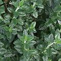 Germander - Teucrium perennial 12-24 inches