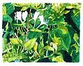 """JAPONICA JUNGLE - Watercolor 10.5""""x8.5"""" WHITE FLOWERS STAND OUT AGAINST A TANGLE OF CONTRASTING FOLIAGE"""