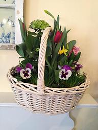 Easter Plant Basket A beautiful potted basket of hydrangea, tulips, mini daffodils, tulips, pansies, adorned by real grass- is sure to make everyone's Easter celebration special!
