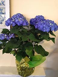 Hydrangea- Blue Stunning in color- this deep blue hydrangea can be planted in the yard for years of enjoyment!