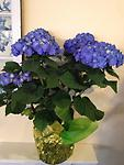 Hydrangea- Blue - Stunning in color- this deep blue hydrangea can be planted in the yard for years of enjoyment!