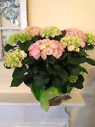 Hydrangea- Pink Our beautiful and full pink hydrangea plants can be planted in the garden and enjoyed for years to come!