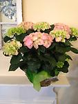 Hydrangea- Pink - Our beautiful and full pink hydrangea plants can be planted in the garden and enjoyed for years to come!