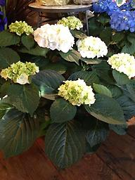 Hydrangea- White This beautiful and full white hydrangea plant makes a great gift for Mom, and can be planted in the garden and enjoyed for years to come.