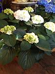 Hydrangea- White - This beautiful and full white hydrangea plant makes a great gift for