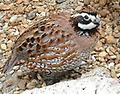 100+Northern Bobwhite Quail Eggs - 100+ fresh eggs for hatching. NPIP and AI tested clean