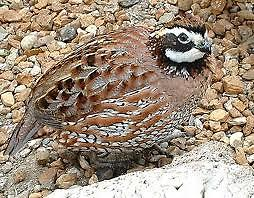 50+ Northern Bobwhite Quail Hatching Eggs NPIP and AI tested clean Freshly gathered eggs shipped out daily on Monday, Tuesday and Wednesday or Saturday.